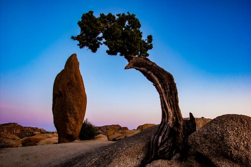 juniper-tree-2019-v1.jpg