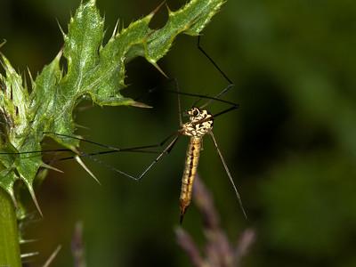 Spotted Crane-fly (Nephrotoma appendiculata)