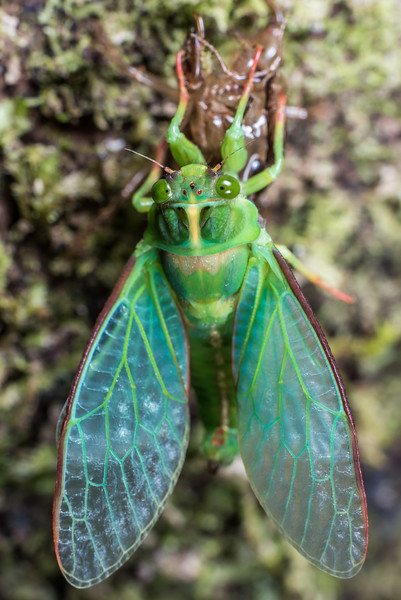 Genus Kikihia, unidentified