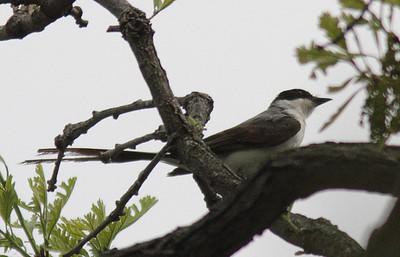 2014 Fork-tailed Flycatcher - Geneva , IL