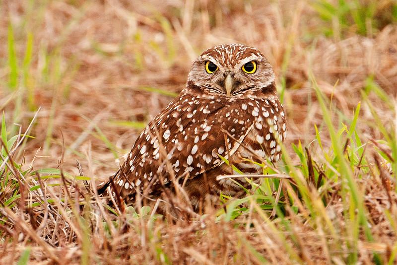 Owl - Burrowing - Cape Coral, FL - 01