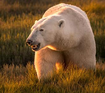 Polar Bear Adventure, Manitoba 2017