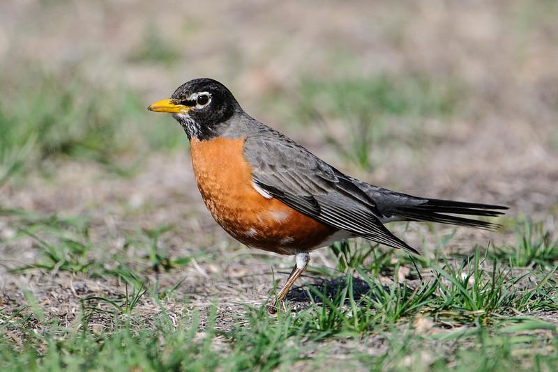 Robin - American - Long Lake Regional Park - New Brighton, MN