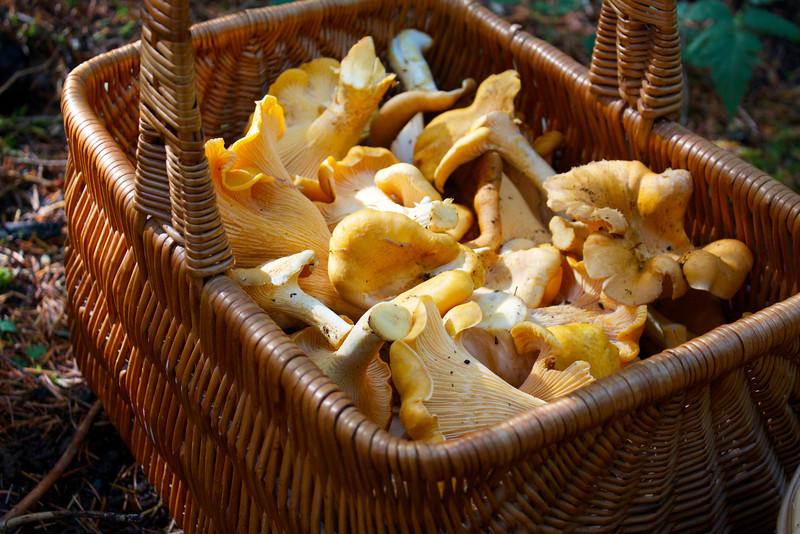 Basket of Cantharellus formosus, Golden Chanterelles