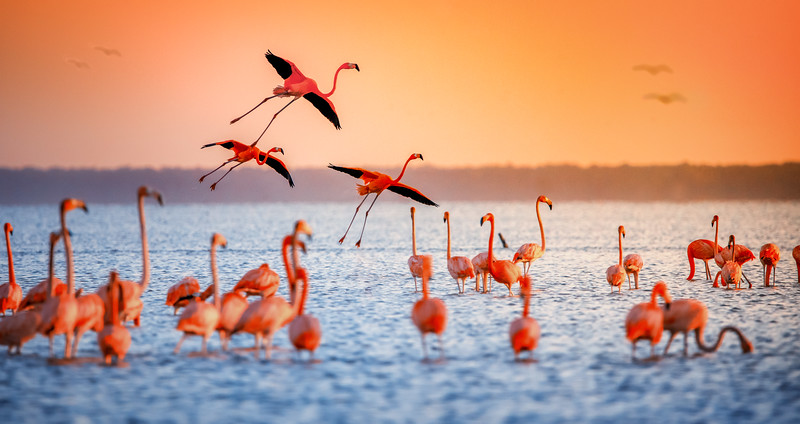 Pink flamingoes landing during a sunset