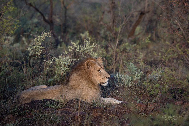 African Lion, Zimanga, South Africa, May 2017-1.jpg