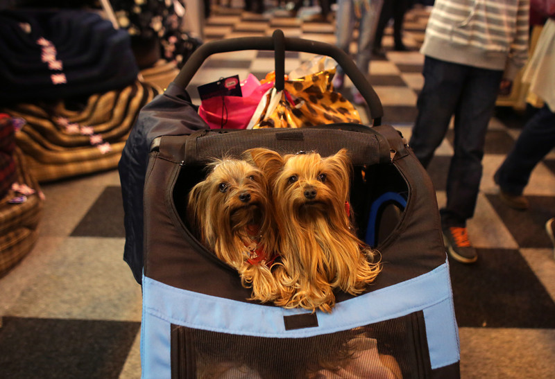 . Two Yorkshire Terriers are pushed around the trade stands on the first day of Crufts dog show at the NEC on March 6, 2014 in Birmingham, England. Said to be the largest show of its kind in the world, the annual four-day event, features thousands of dogs, with competitors traveling from countries across the globe to take part. Crufts, which was first held in 1891 and sees thousands of dogs vie for the coveted title of \'Best in Show\'.  (Photo by Matt Cardy/Getty Images)