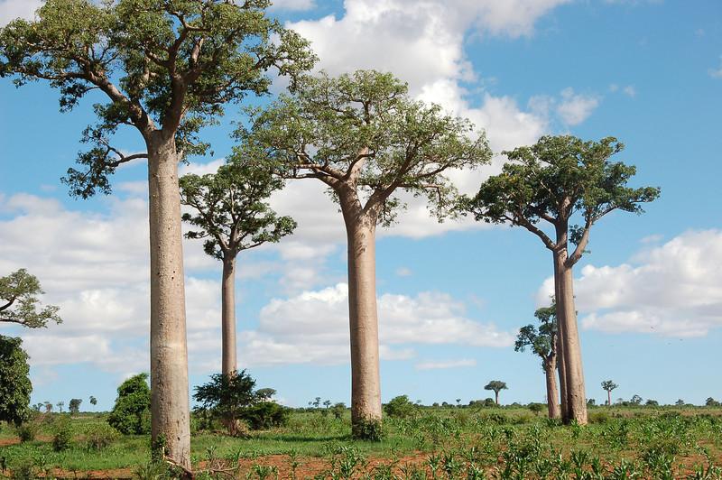 Madagascar14-Oda.jpg