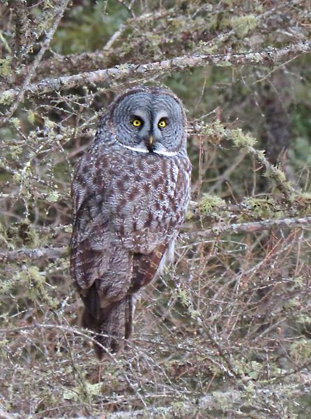 Grreat Gray Owl  vertical
