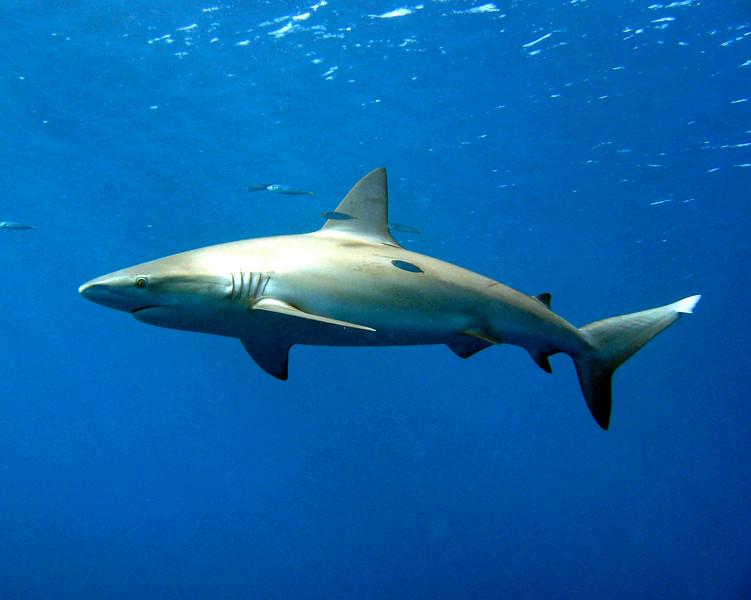 galapagose_shark_MW.jpg