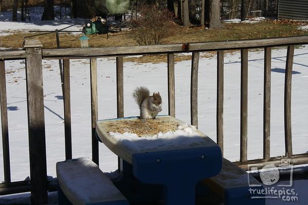 {{.Gray Squirrels.}}