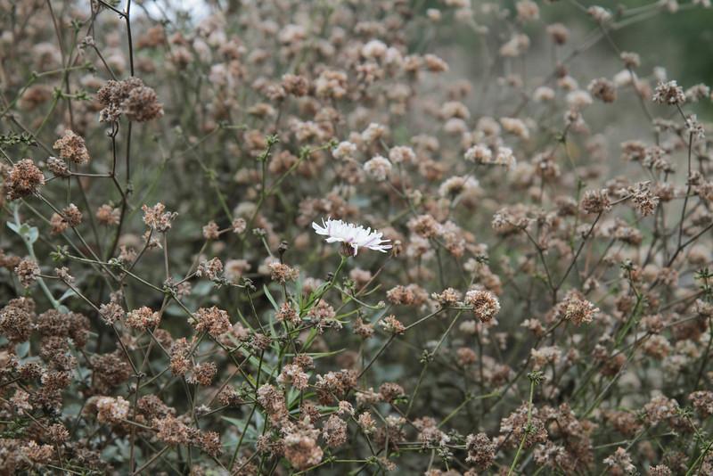 Ashyleaf Buckwheat and Cliff Aster, Malacothrix saxatilis