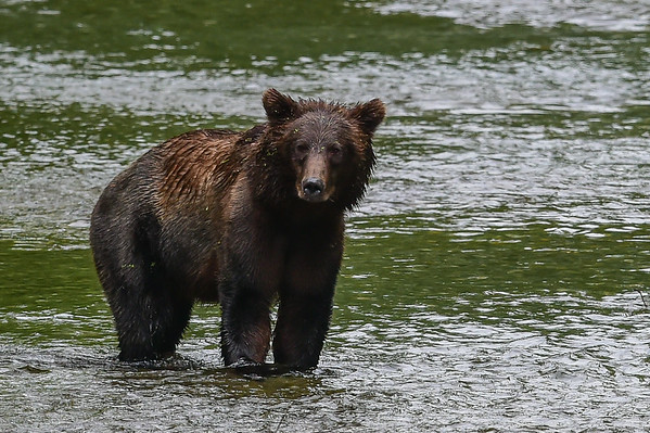 8-06-14 Grizzly Bear Called Mira