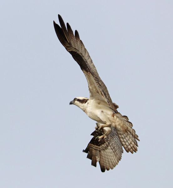 Osprey 734