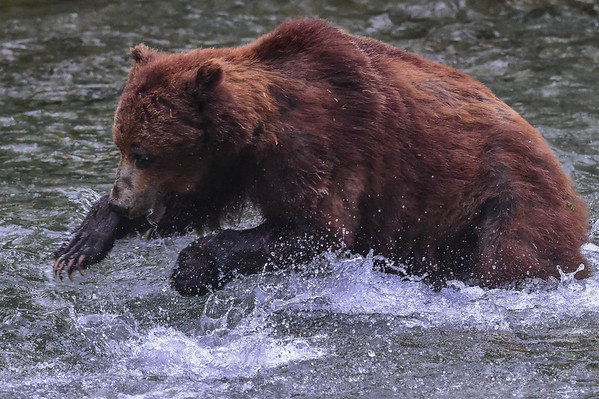8-07-14 Grizzly Bear Called Jaws II