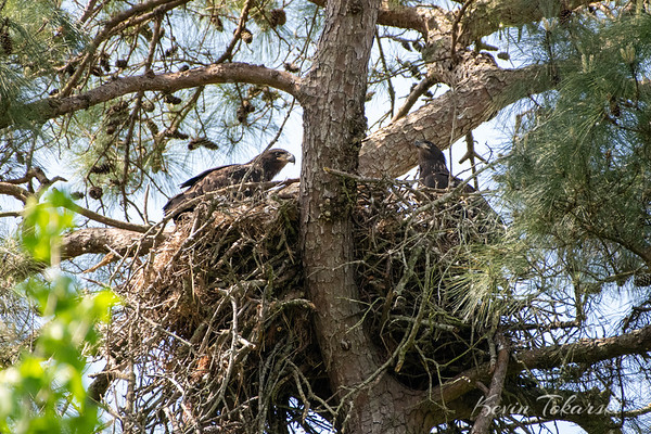 Eaglets Still In The Nest