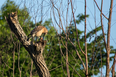 Hawk  018