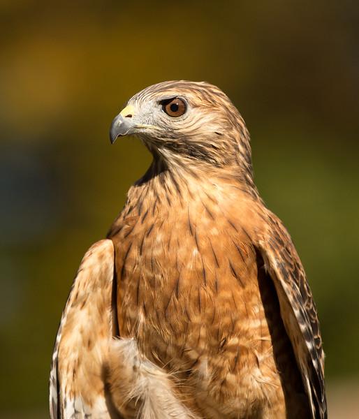 Hawk in Training