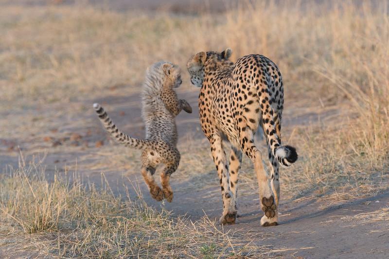 Playful cheetah cub with mom