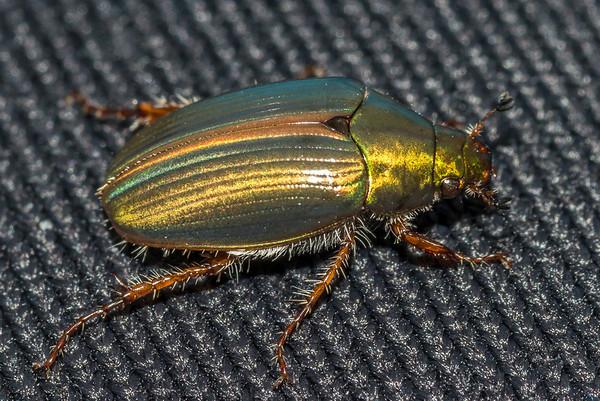 Pyronota edwardsi - Kiriwai mānuka chafer
