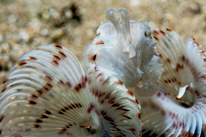 Cuttlefish_bokeh (1 of 1).jpg
