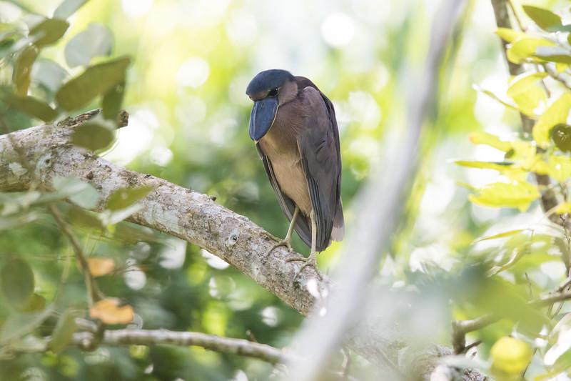 Boat-billed Heron - Pedro Miguel, Colon, Panama