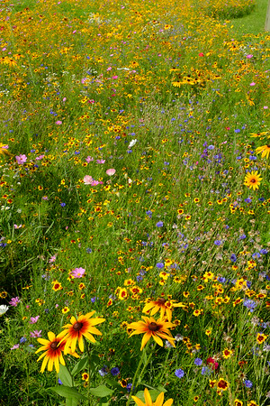 Wild Flowers, Middleburgh, NY