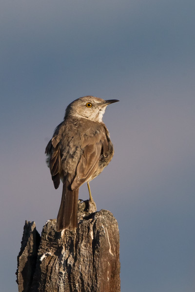 Sage Thrasher - Sierra Valley, CA, USA
