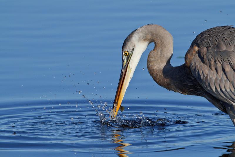 Great Blue Heron, Merritt Island NWR