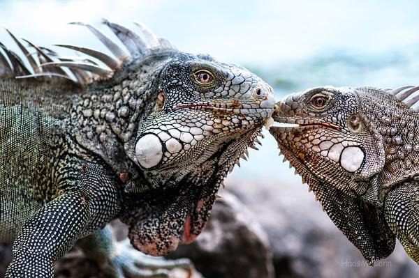 Wildlife...Mostly Iguanas