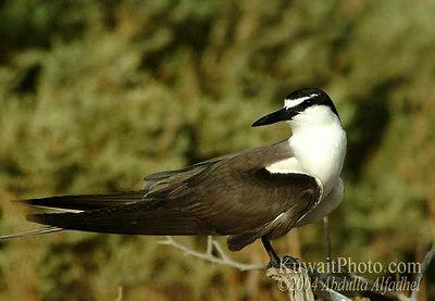 Bridled Tern, Brilstern, Sterna anaethetus