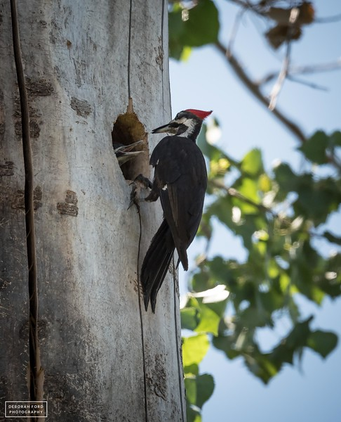 Pileated Woodpecker parent feeding youngster