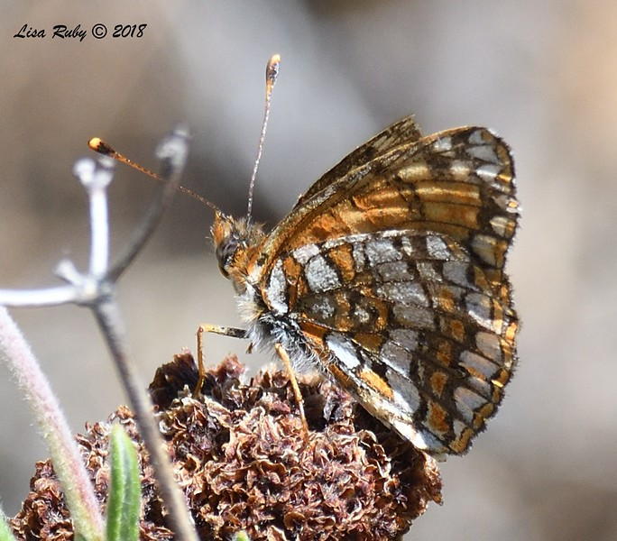 Gabb's Checkerspot - 5/24/2018 - Cibbet's Flat Campground area