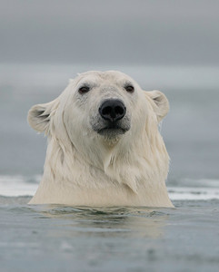 Alaska Polar Bears 2015