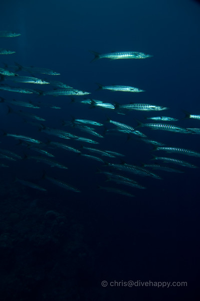 Barracuda at Manuk, Banda Sea © Chris Mitchell