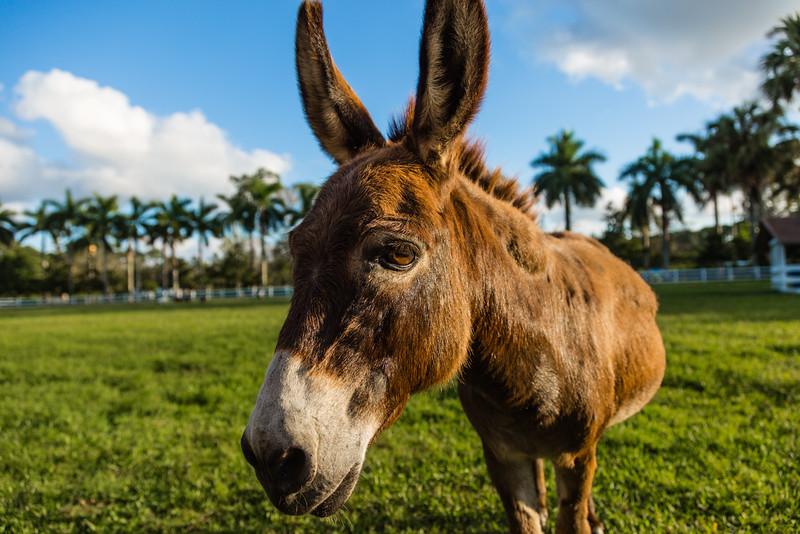 Miss Olivia, the miniature donkey in Loxahatchee Groves, on Monday, October 31, 2016. (Joseph Forzano / Deep Creek Films & Photography)