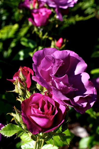 Portland International Rose Test Garden  2202.jpg