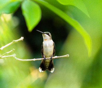 Just Ruby-throated Hummingbirds