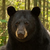 Image of RC taken July 2012.  RC was born in 1999. Ursus americanus (American Black Bear).