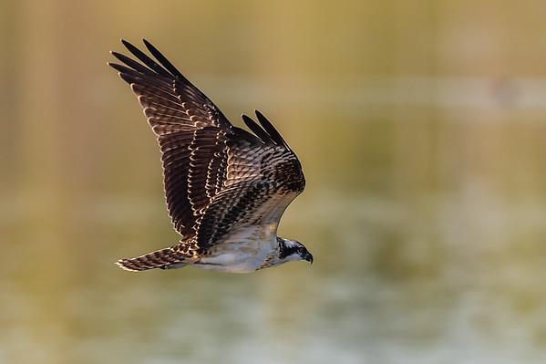 8-20-15 Ospreys Diving & Fighting