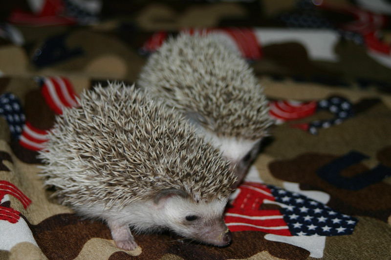 Litter - SCSI and Orianna (02/03/2005)  Litter - SCSI and Orianna (02/03/2005)  Filename reference: 20050306-235835-HAH-Hedgehog_Babies