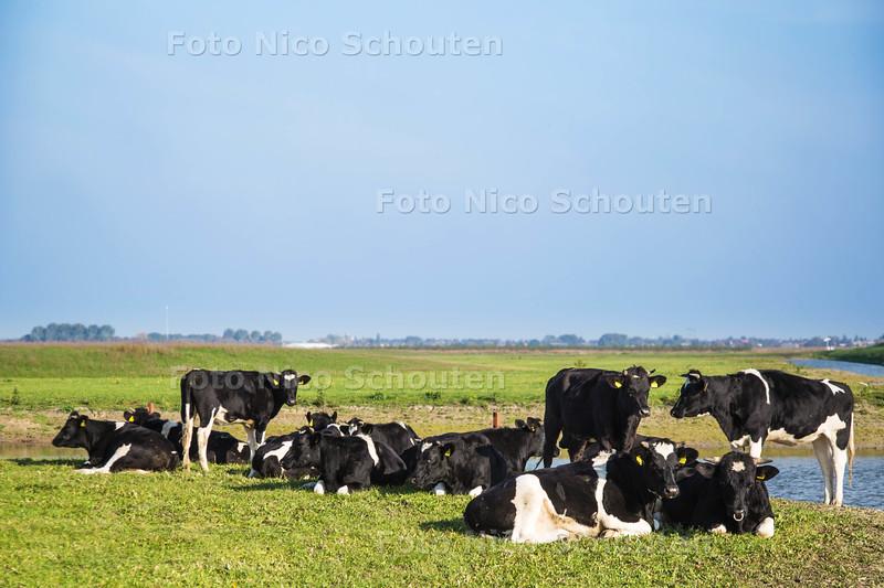 Het Bentwoud heeft zijn eerste grazers. Sinds kort staan er 12 Friese runderen en een stiertje in het gebied. Best bijzonder, omdat dit de eerste grote diren zijn die zijn losgelaten in het gebied - BENTHUIZEN 26 OKTOBER 2015 - FOTO NICO SCHOUTEN