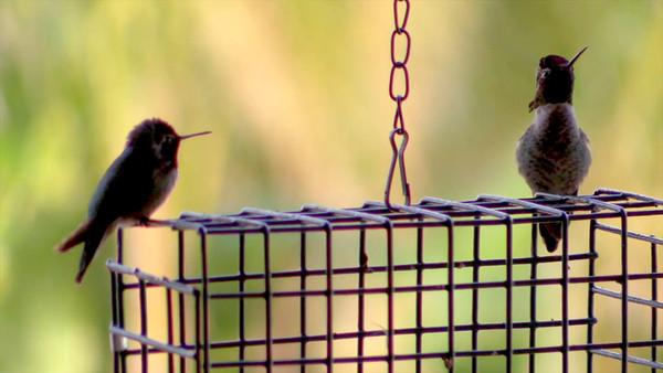 Hummingbird Bass