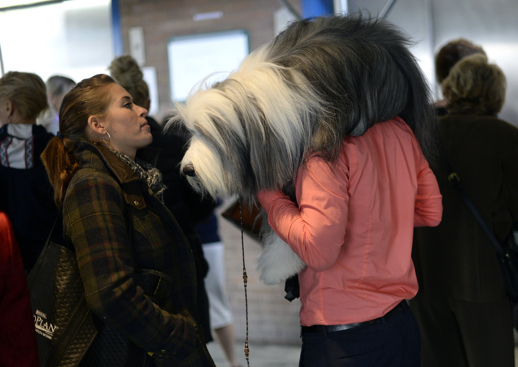 . A handler carries an Old English Sheepdog to the benching area at Pier 92 and 94 in New York City  for the first day of competition at the 138th Annual Westminster Kennel Club Dog Show February 10, 2014. The Westminster Kennel Club Dog Show is a two-day, all-breed show that takes place at both Pier 92 and 94 and at Madison Square Garden in New York City .    TIMOTHY CLARY/AFP/Getty Images