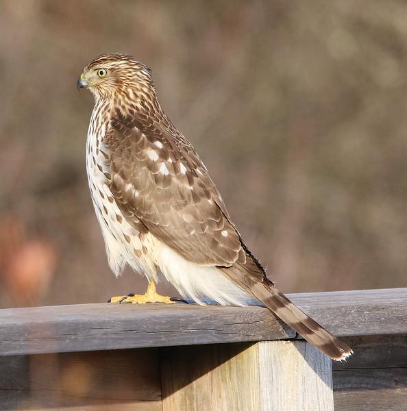 Coopers hawk salisbury 2020 6.jpg