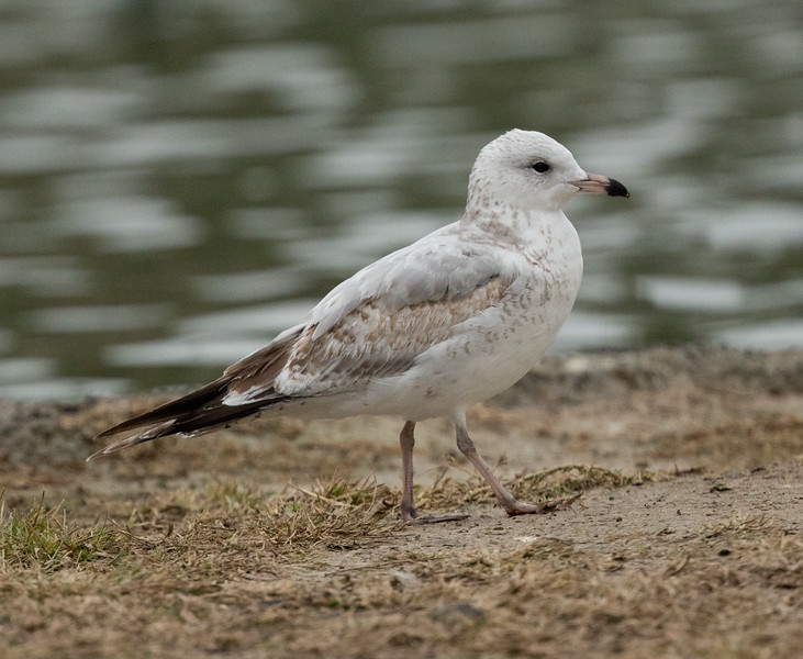 Ring-billed  Gull Ponto Beach 2016 12 09-1.CR2