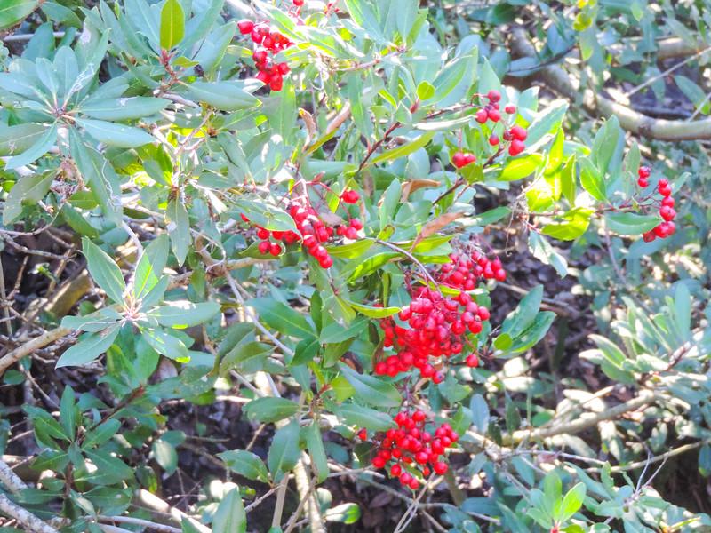 Toyon  (Heteromeles arbutifolia) ROSACEAE