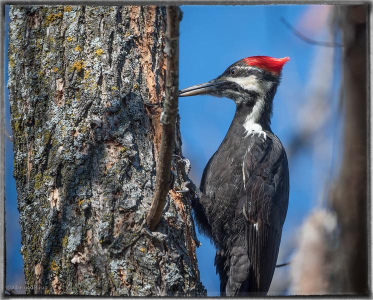 Woodpecker at Mud Lake