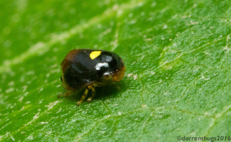 """Cute little spittlebug (Clastopteridae: probably Clastoptera funesta) from Monterverde, Costa Rica. It's difficult to see from his angle, but this species has a very convincing """"false face"""" on its backside to fool predators into attacking less vital areas of its body."""