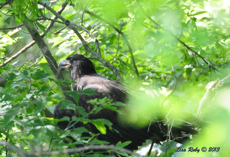 D17. Stuck in the underbrush after a botched landing. 6/27/13